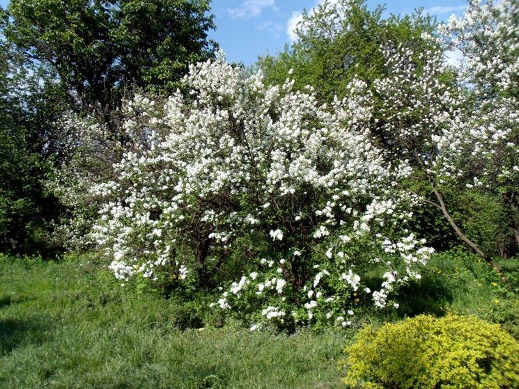 Pianta gelsomino piante da giardino pianta di gelsomino for Piante da cespuglio