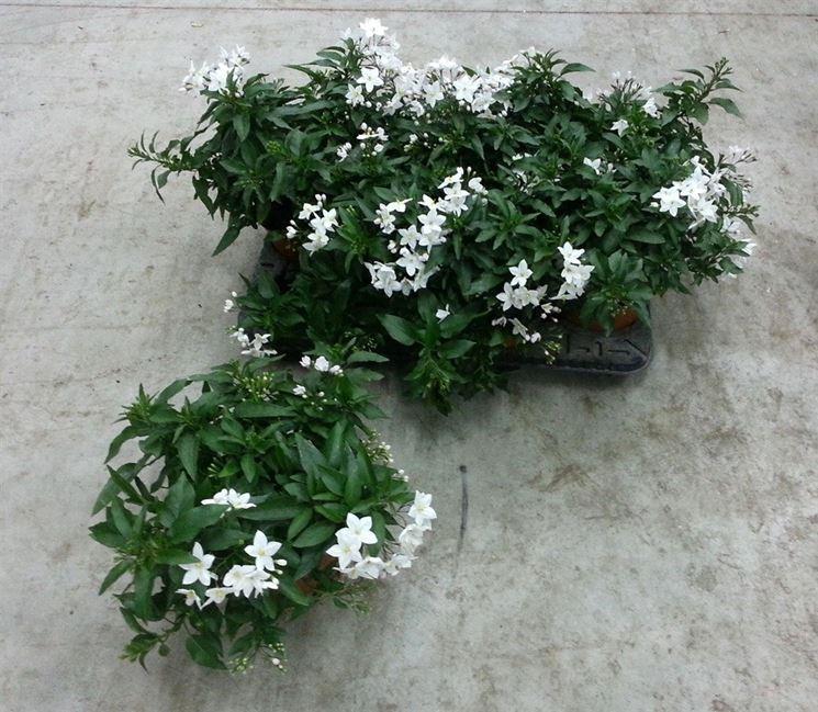 Gelsomino coltivato in vaso