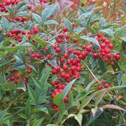 Un esemplare di pianta nandina con le bacche rosse