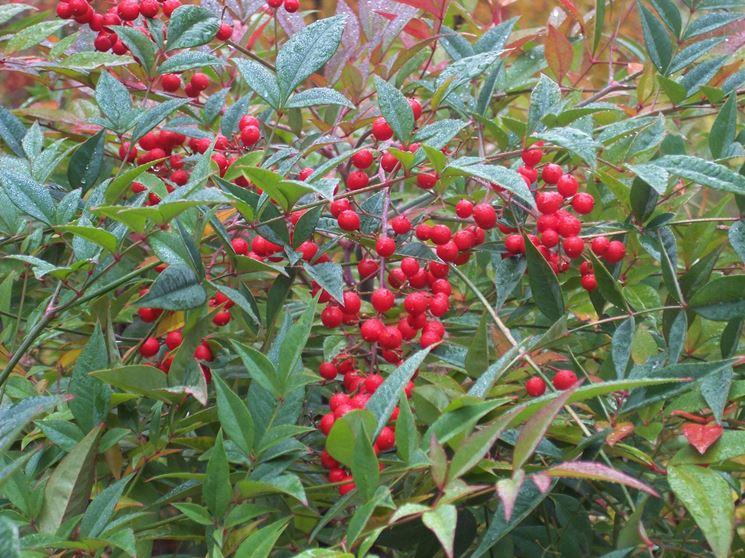 Un esemplare di <strong>pianta nandina</strong> con le bacche rosse