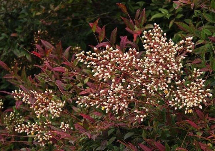 Una pianta nandina con i boccioli bianchi