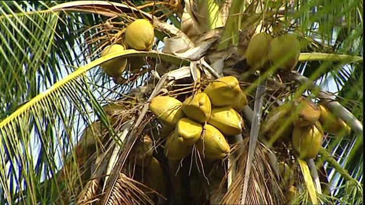Una palma da noci di cocco