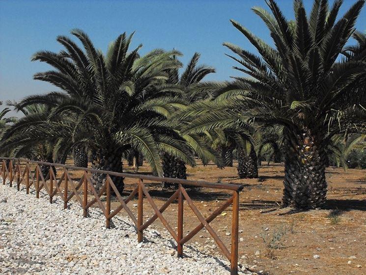 Diversi esemplari di palme in un parco