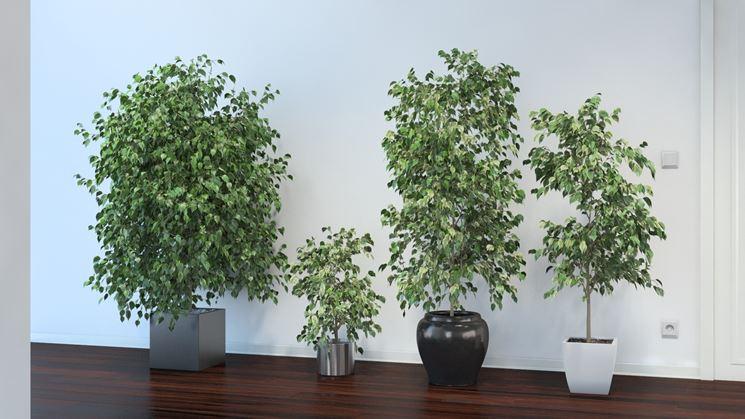 Quattro Ficus benjamina