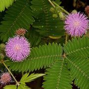 Un esemplare di pianta sensitiva dai fiori rosa