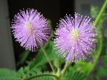 I bellissimi fiori della pianta sensitiva