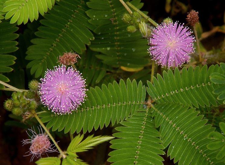 Un esemplare di <strong>pianta sensitiva</strong> dai fiori rosa