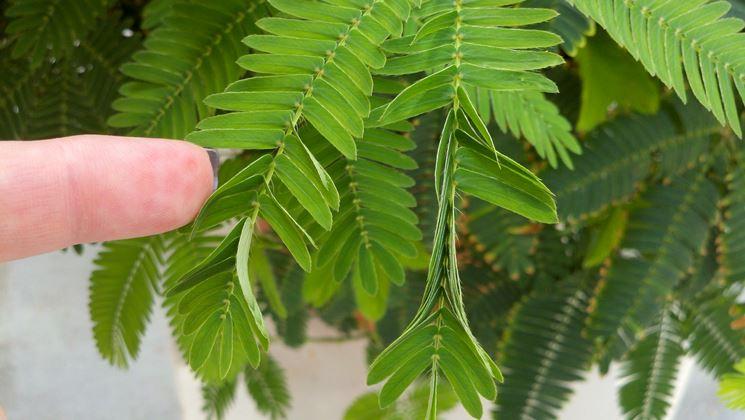 La pianta sensitiva con le foglie che si richiudono al minimo contatto