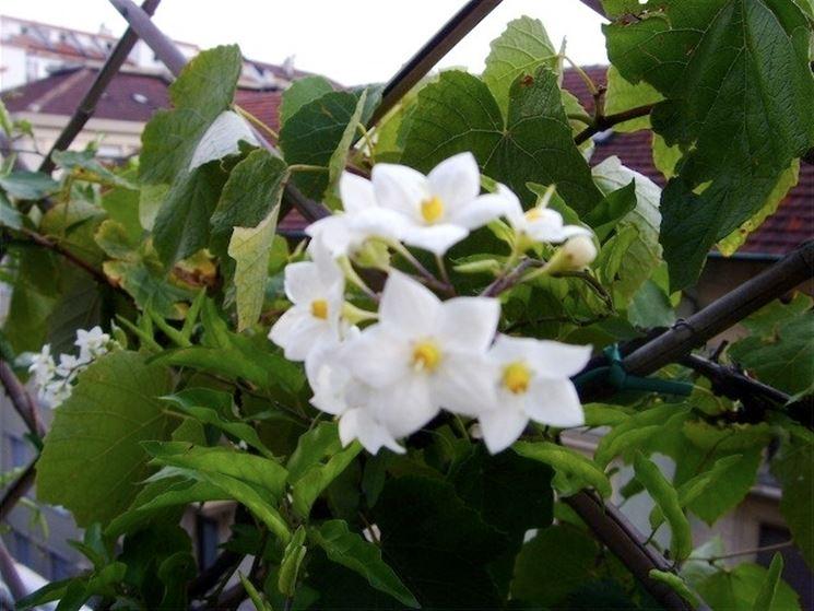 I fiori della pianta solanum
