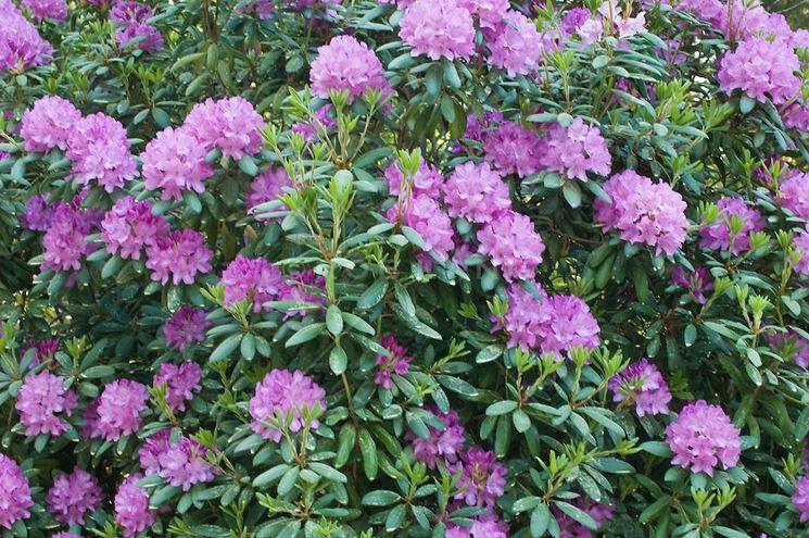 Azalea fiorita