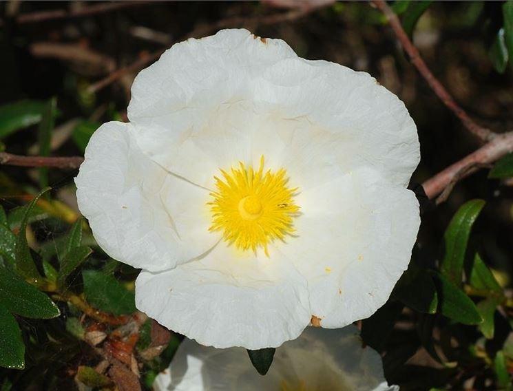 Un fiore di cisto