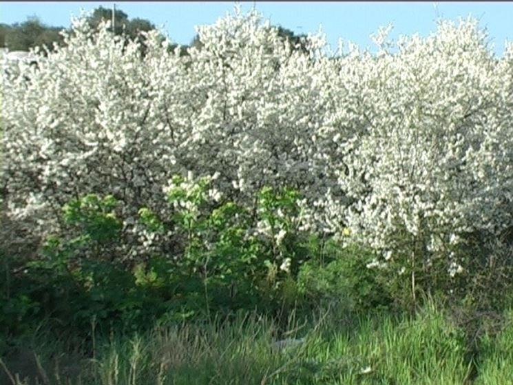 Piante arbustive piante da giardino caratteristiche for Piante da cespuglio