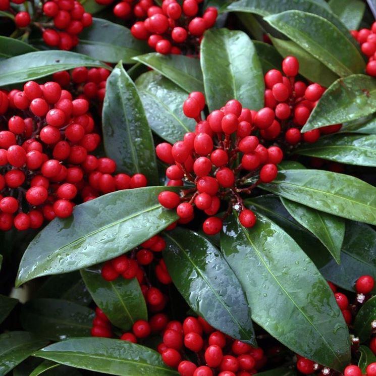 piante con bacche rosse piante da giardino piante con On pianta ornamentale con bacche rosse