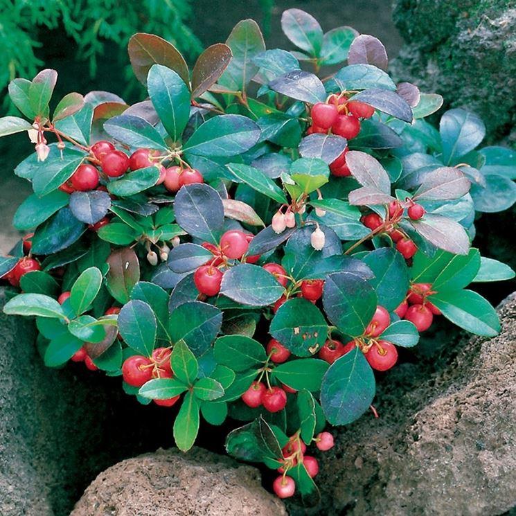 Piante con bacche rosse piante da giardino piante con for Piante sempreverdi con fiori