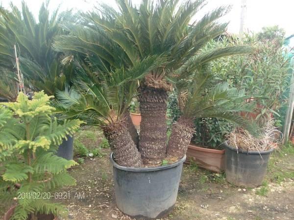 Piante cycas piante da giardino cycas pianta - Piante decorative da giardino ...