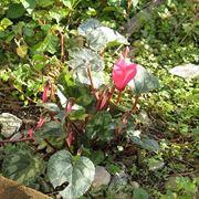 pianta di ciclamino