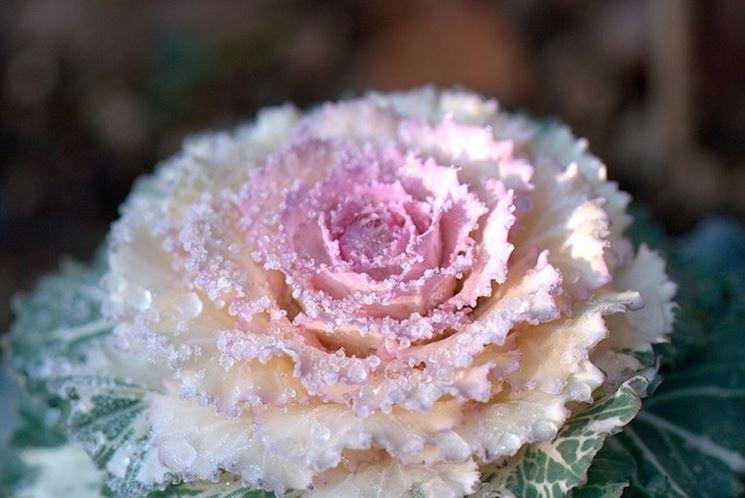 Piante da balcone invernali piante da giardino come - Piante da giardino invernali ...