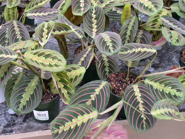 Piante da esterno in vaso piante da giardino piante da for Piante invernali da esterno vaso