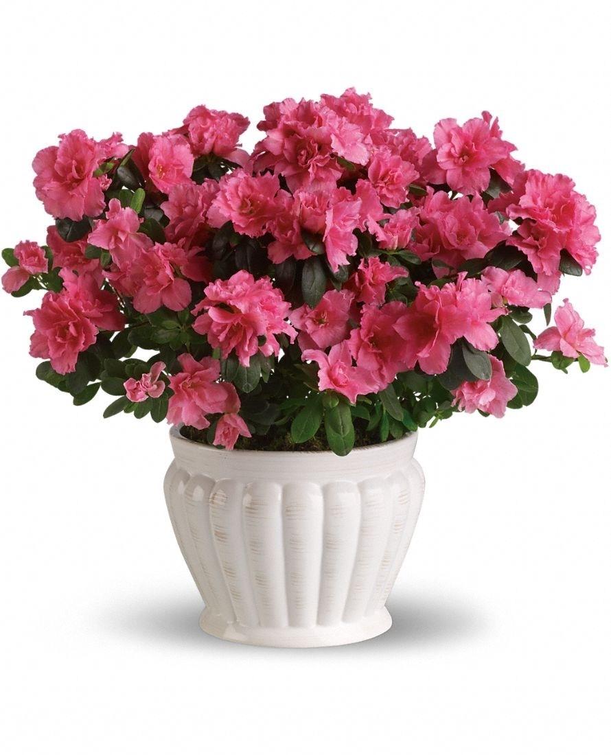 Piante da esterno invernali piante da giardino piante - Azalea pianta da interno o esterno ...