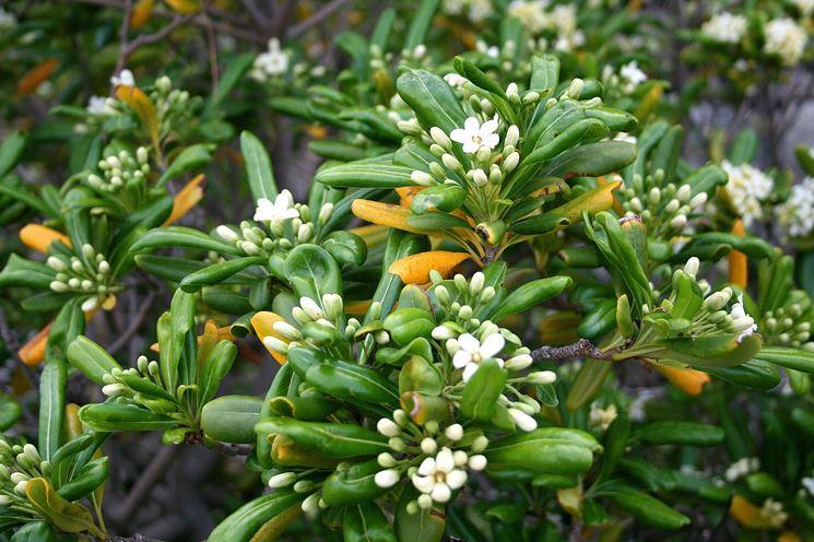 Foglie e fiori della pianta di Pittosporo