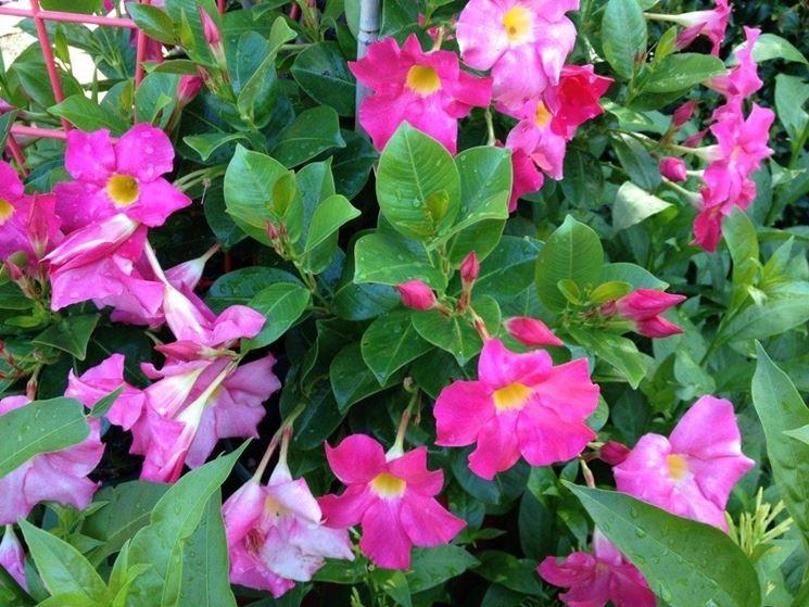 Piante da esterno sempreverdi piante da giardino for Piante fiorite perenni da esterno