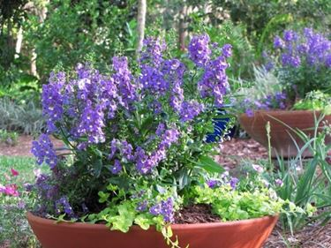 Angelonia in fiore