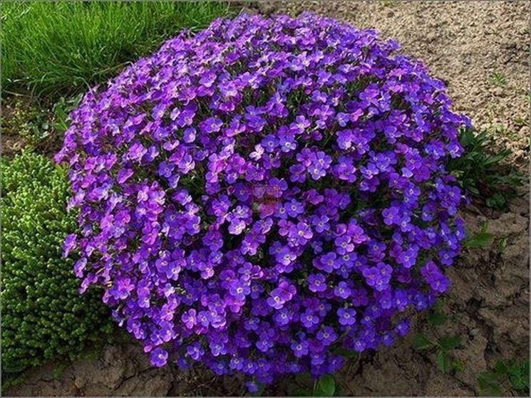 Piante da fiori - Piante da giardino - Piante da fiori - giardino