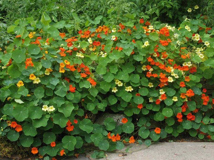 Piante Da Giardino Con Fiori 3 Fiore Del Nasturzio