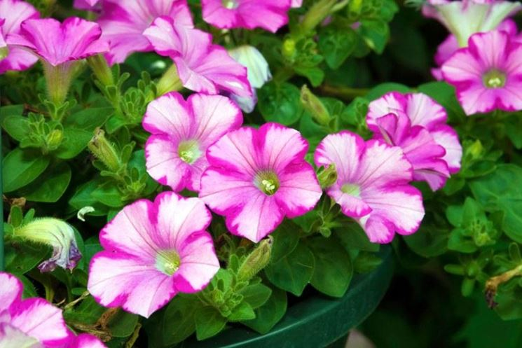 Piante da giardino con fiori piante da giardino piante for Fiori primaverili da giardino