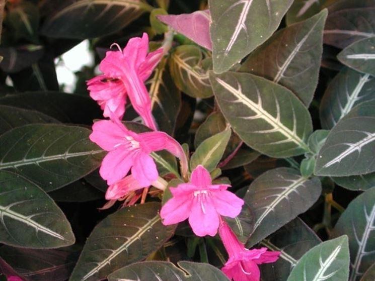 Foglie e fiori di Ruellia makoyana