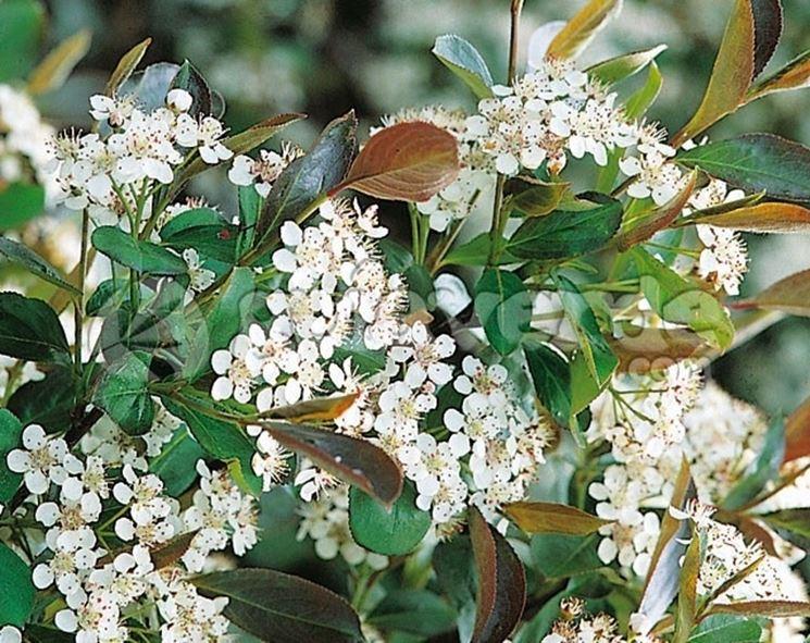Foglie e bacche di Aronia melanocarpa