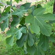 Il fico con foglie e frutto