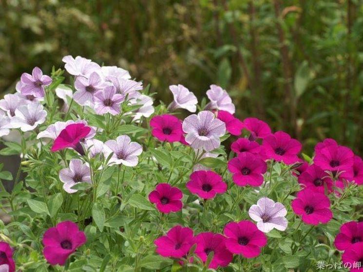 Piante fiorite piante da giardino for Piante da giardino perenni fiorite