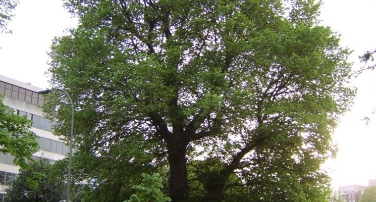 Piante ombrifere: Ulmus