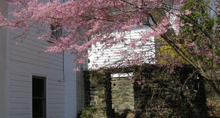 Prunus nei giardini