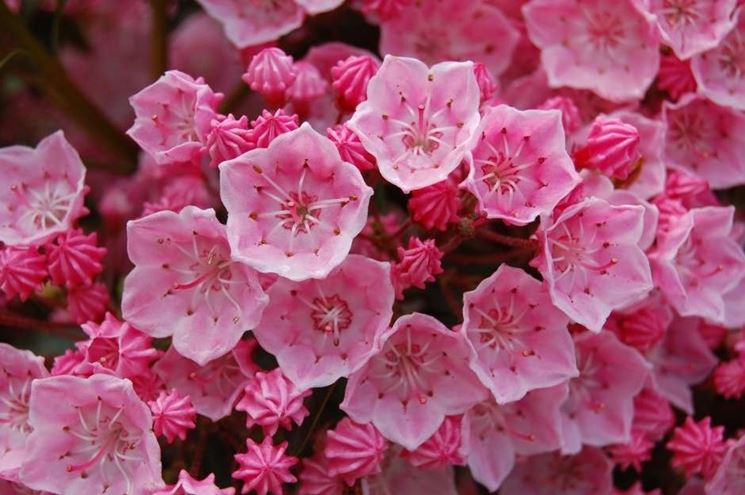Piante in fiore di Kalmia