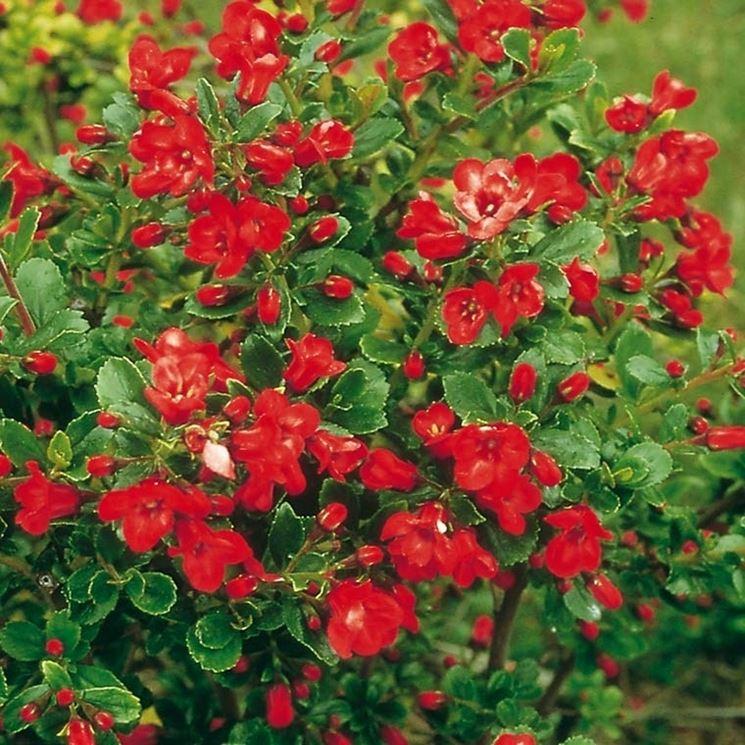 Foglie e fiori di Escallonia