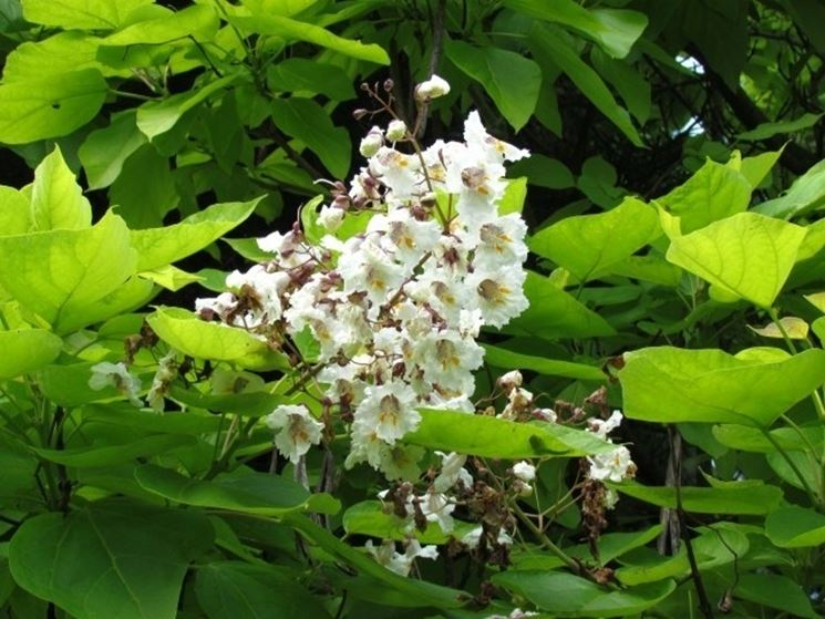 Fiori e foglie di Catalpa