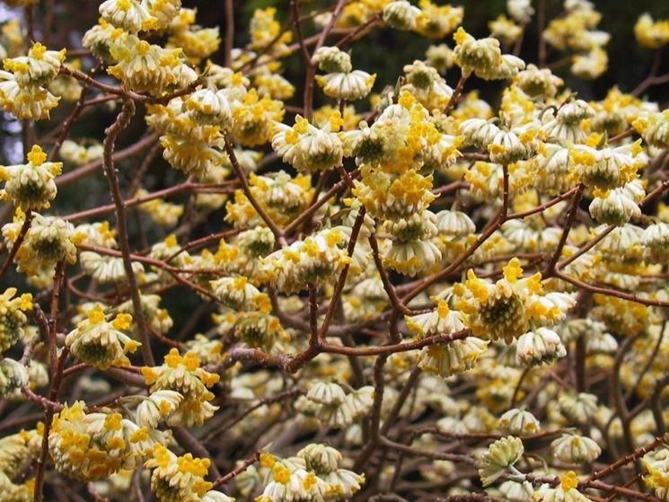 Infiorescenze della pianta di Edgeworthia