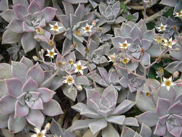 Graptopetalum paraguayense fiorito