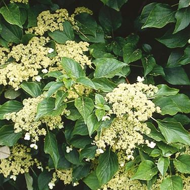 Ortensia villosa o Hydrangea villosa