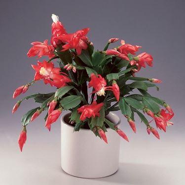 Cactus di Natale o Zigocactus