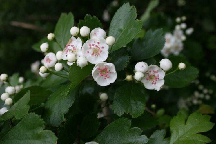 Fiori della pianta di Biancospino