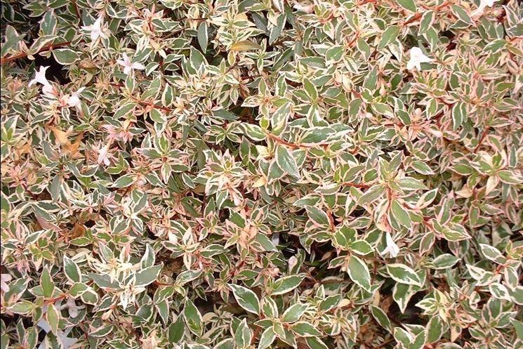 Piante per aiuole piante da giardino scegliere le for Piante perenni per bordure