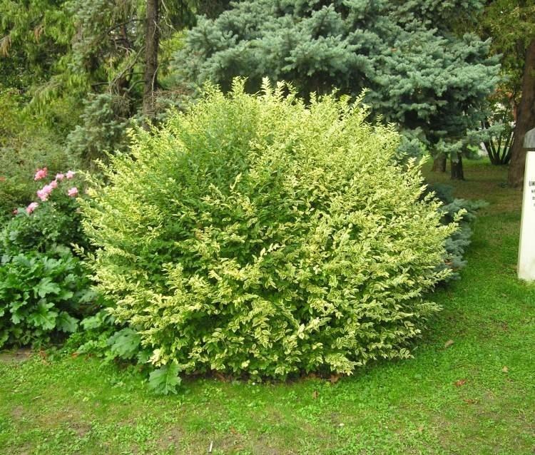 Piante per aiuole piante da giardino scegliere le for Piante verdi perenni da giardino