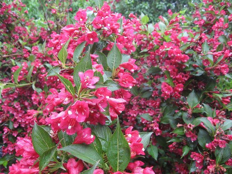 Fiori e foglie di Weigela