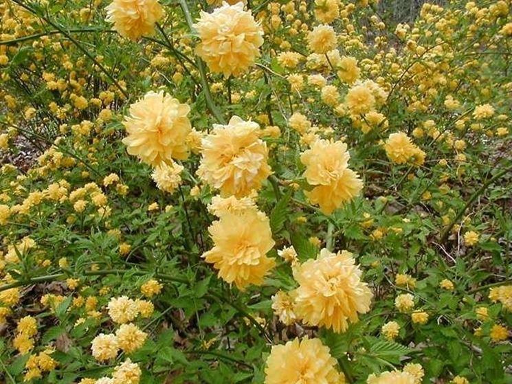 Fiori e foglie di Kerria