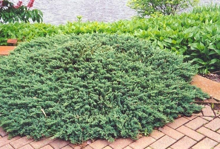 Piante per giardini piante da giardino scegliere for Piante verdi perenni da giardino
