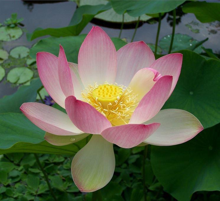 Fiore di Nelumbo ( Fiore di Loto )