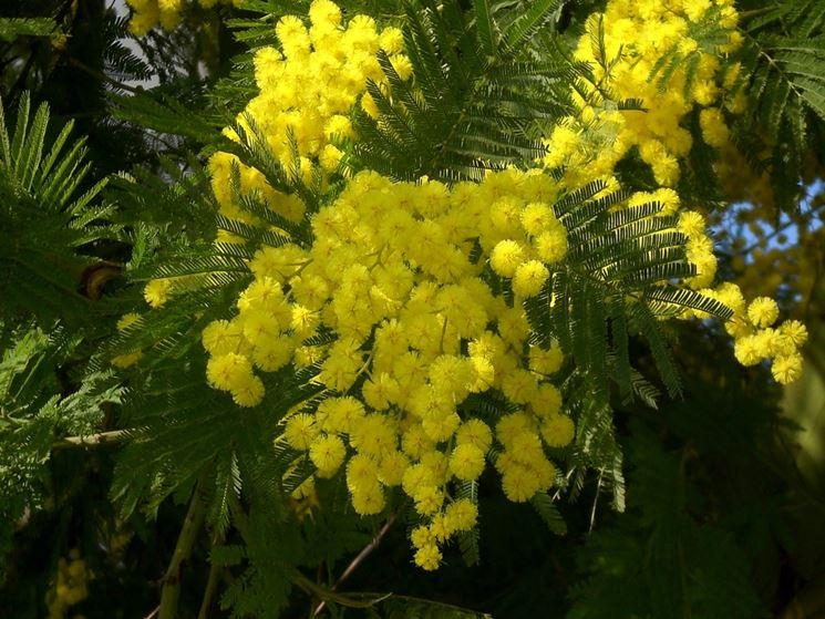 Particolare dei fiori di mimosa